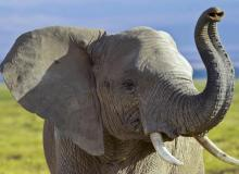 elefante animali