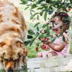 Bambina mangia ciliegie