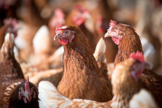 Uova non da gabbie. Ciwf: il Italia il 60% delle galline è cage free