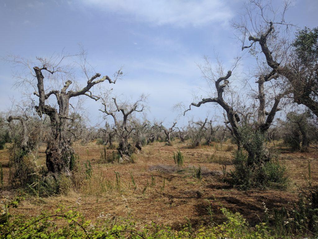 olivi rovinati da xylella