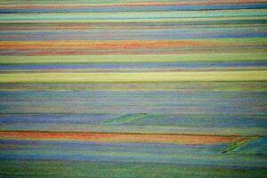 Fioritura delle lenticchie